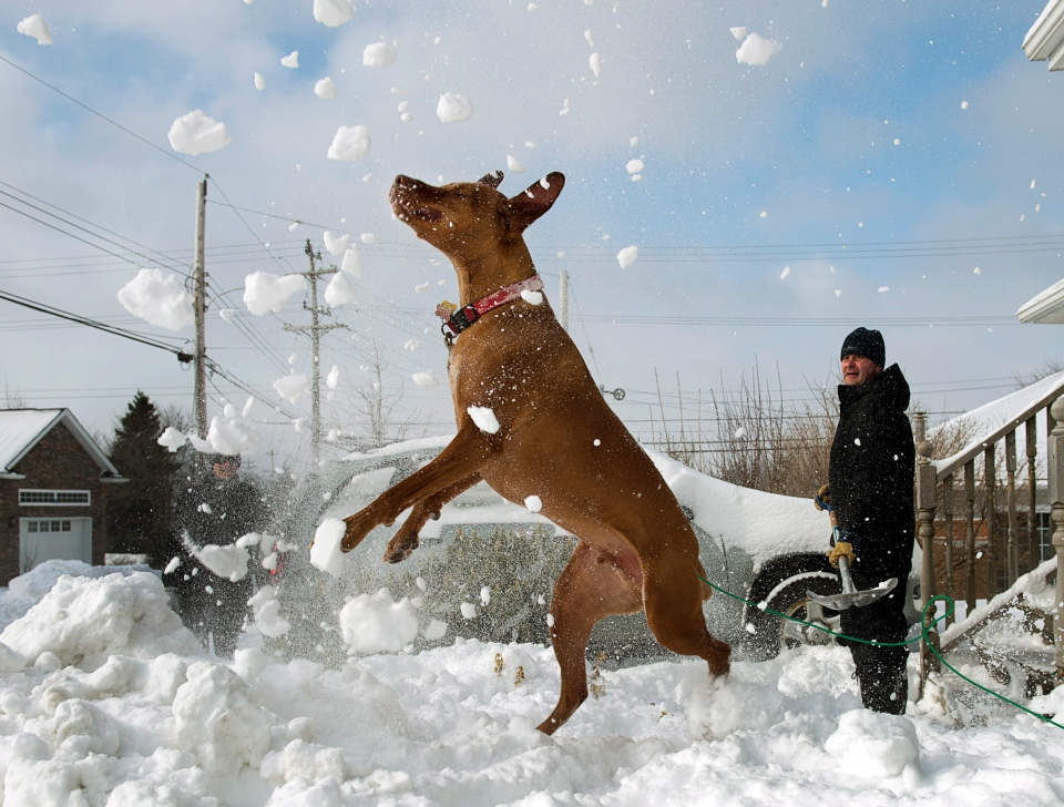 Harley, a Vizsla, displays his athleticism as his owners Darrin and Lorie Campbell clear their driveway in Dartmouth, N.S. on Sunday, Feb. 10, 2013. (Andrew Vaughan /THE CANADIAN PRESS)