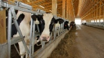 A line of dairy cows are shown in this July 2012 file photo. (AP Photo/Seth Perlman)