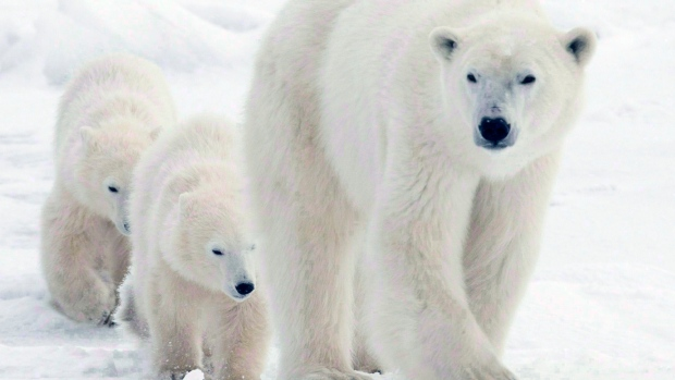 Polar bear mother walks with cubs