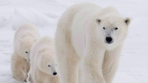 It may be time to set out food for polar bears