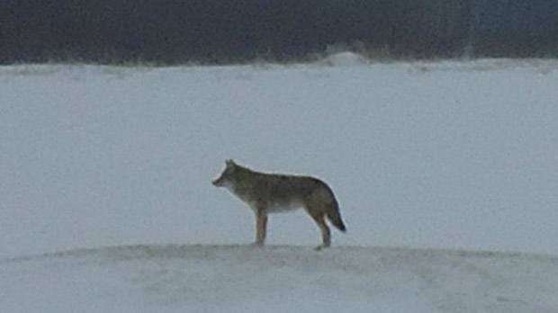 A Charleswood resident took a photo of what appears to be a coyote on Feb. 10 near Loudoun Road in Winnipeg. (image courtesy Marianna Vieira)