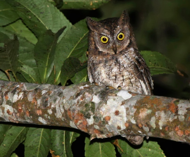 This undated photo taken by independent researcher Philippe Verbelen and released by online scientific journal PLOS ONE, shows a Rinjani Scops owl perching on a tree on Lombok island, Indonesia. (AP Photo/PLOS ONE, Philippe Verbelen)