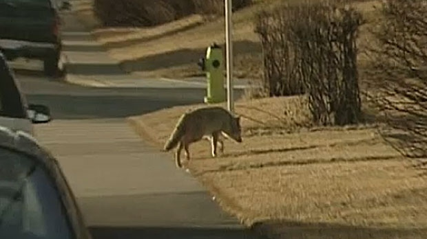 A coyote is seen roaming the streets of Calgary. A catch and release program will tag about ten of the animals to track their movements through the city.