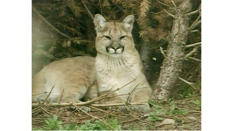 This file image shows a cougar in B.C.