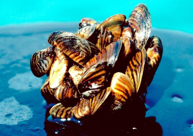 Zebra mussels generic