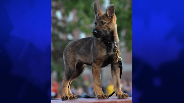 RCMP photo of a German Shepherd puppy