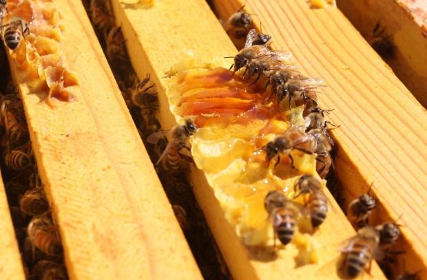 Honeybees generic