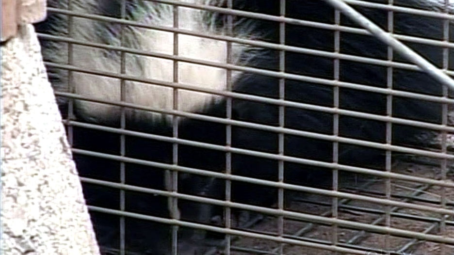 Skunks overwhelm Walkerville homeowners