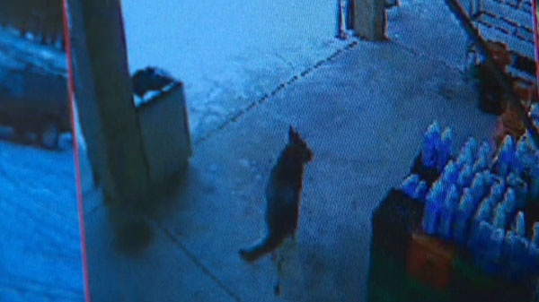 Police are seeking help from the public to identify the owner of a dog, seen in this video image, that allegedly attacked three people in Vaughan, Wednesday, Jan. 19, 2011.
