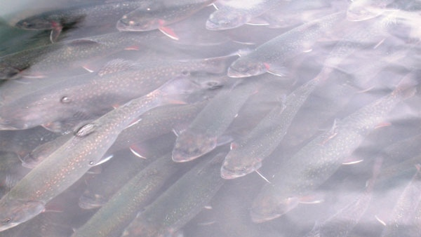 Brook trout similar to those affected by anti-depressants in Montreal�s river water. (University of Montreal photo)