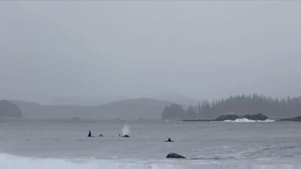 Orcas join a lineup of surfers at Flo Bay in B.C.'s Pacific Rim National Park. (Submitted video)