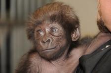 Gladys the gorilla
