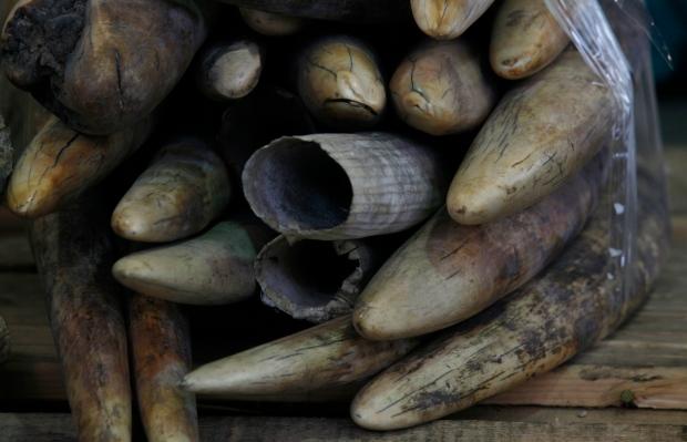 Ivory tusks trade