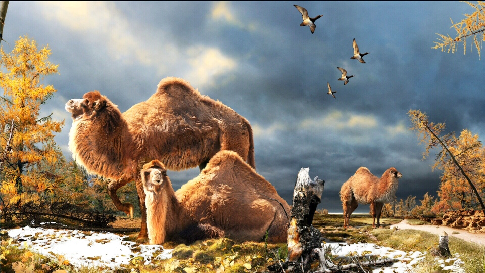An illustration of the High Arctic camel on Ellesmere Island about three-and-a-half million years ago.