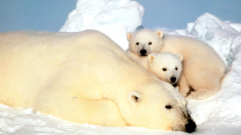 Russia concerned about polar bear poachers using Canadian documents to disguise illegally hunted pelts. (U.S. Fish and Wild Life Service, Steve Amstrup)