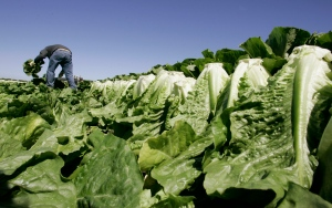 A worker harvests romaine lettuce in Salinas, Calif., in this 2007 file photo. (AP Photo/Paul Sakuma)