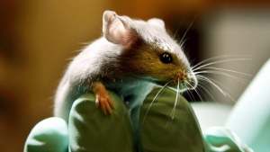 FILE - This is a Tuesday, Jan. 24, 2006 file photo of a laboratory mouse as it looks over the gloved hand of a technician at the Jackson Laboratory, in Bar Harbor, Maine. (AP Photo/Robert F. Bukaty, File)