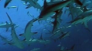 Dr. Boris Worm on shark survival