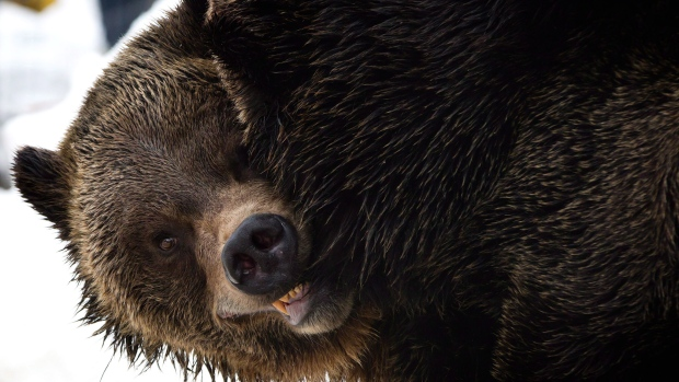 Alberta group want limited grizzly bear hunt