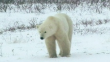 Activists outraged over rejected polar bear trade