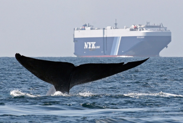 A blue whale off the California coast
