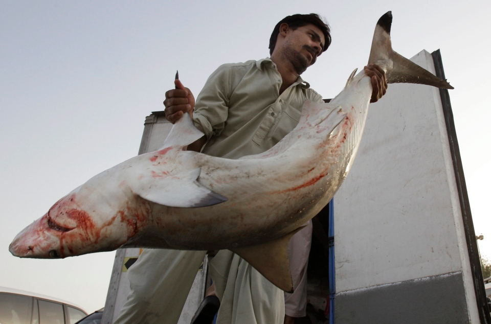 In this Tuesday, June 12, 2012 file photo, a man carries a blacktip shark imported from Oman to be auctioned at a fish market in Dubai, United Arab Emirates. (AP Photo/Kamran Jebreili, File)