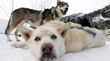 Sled dogs rest after returning from a tour run by Whistler Outdoor Adventures in the Soo Valley north of Whistler, B.C., on Monday January 31, 2011. The RCMP and the B.C. SPCA are investigating the slaughter of about 100 sled dogs in Whistler in an incident the SPCA called an absolute massacre. (THE CANADIAN PRESS/Darryl Dyck)