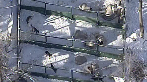SPCA cruelty investigators converged on dog sled kennels operated by Outdoor Adventures Whistler on Feb. 1, 2011. (CTV)