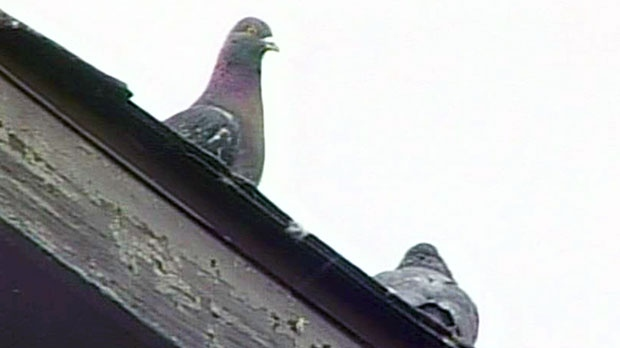 Comber animal trapper denies hurting pigeon