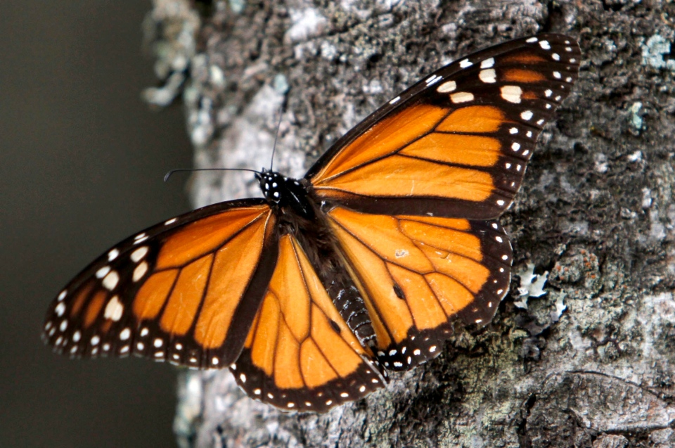 A Monarch butterfly sits on a tree trunk at the Sierra Chincua Sanctuary in the mountains of Mexico's Michoacan state, Dec. 9, 2011. (AP / Marco Ugarte)