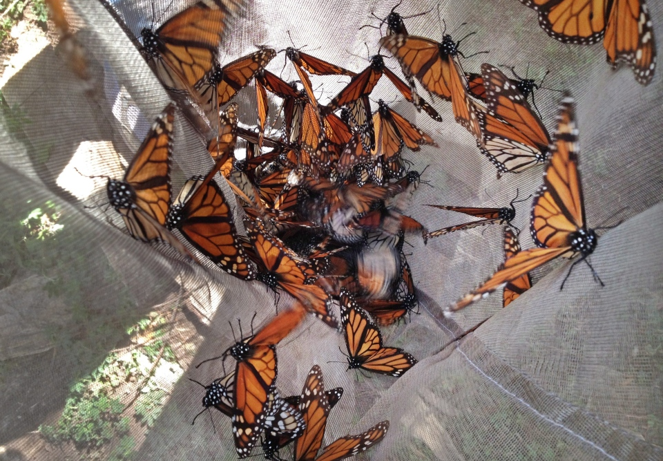 Monarch butterflies are collected in a net to be tested for the ophroyocystis elektroscirrha parasite that inhibits their flight, at El Capulin reserve, near Zitacuaro, Mexico, Feb. 15, 2013. (AP / Marjorie Miller)