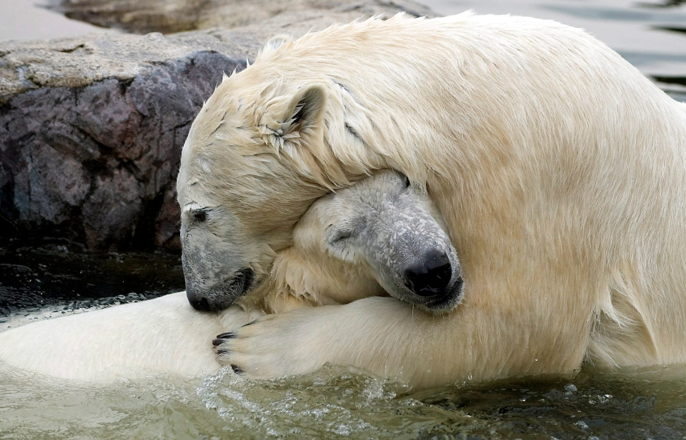 Polar bears, Bill, right, and Lara, react to eachother at their first meeting at the Zoom Erlebniswelt Zoo in Gelsenkirchen, Germany in this April 2009 file photo. (AP / Martin Meissner)
