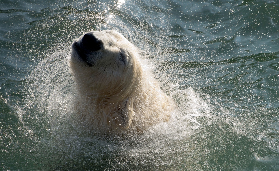 A polar bear shakes off water while swimming in the pool of its enclosure in the zoo of Hannover, northern Germany, Friday, March 15, 2013. (AP / dpa, Jochen Luebke)