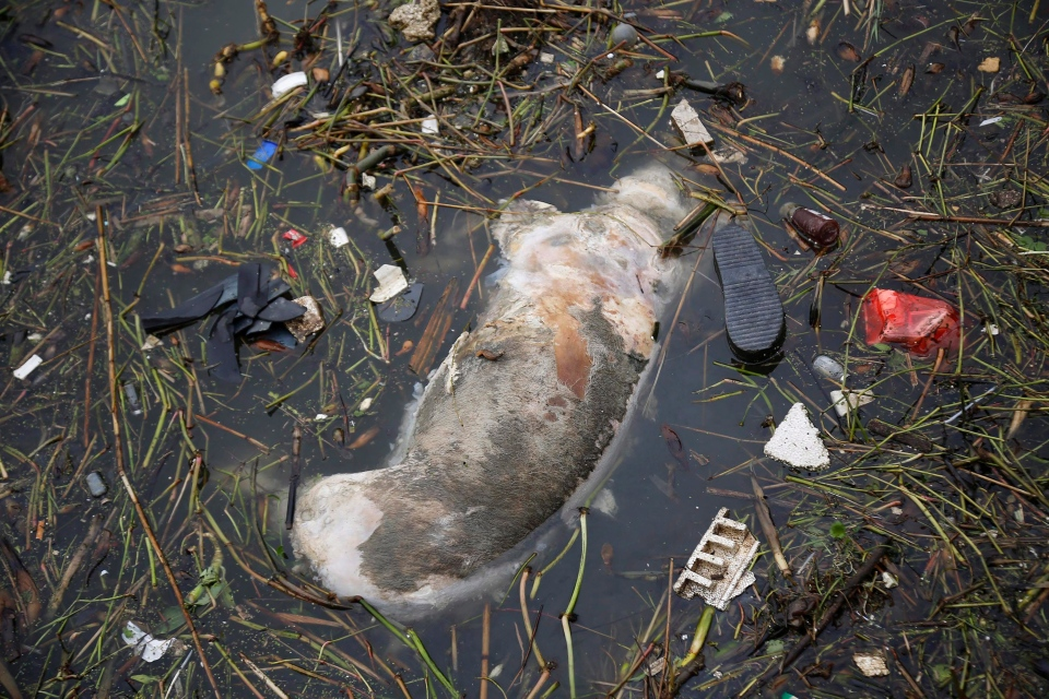 A dead pig floats on the river Monday, March 11, 2013 on the outskirts of Shanghai, China.  (AP Photo)