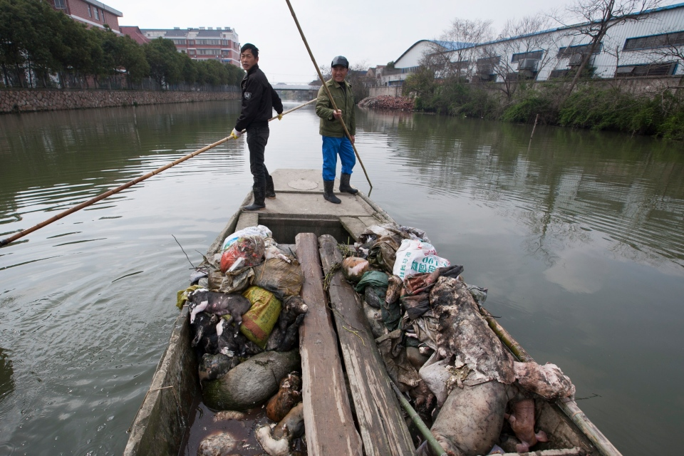 Workers row a boat while looking for dead pigs in a river in Jiaxing city, in eastern China's Zhejiang province, Thursday, March 14, 2013. (AP)