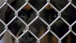 A rottweiler can be seen behind a fence in this file photo.
