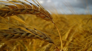 A wheat field is shown in this file photo.