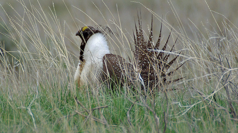 Sage Grouse close to extinction