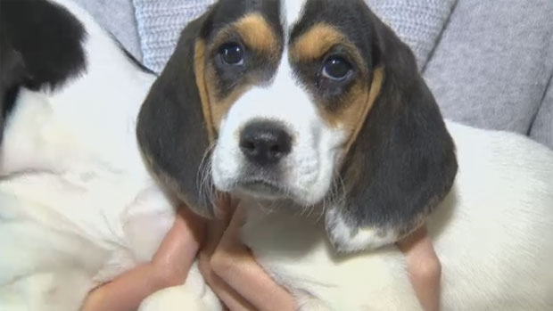 These two beagle puppies were recently taken from their owner, who was unable to care for them.
