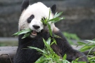 Er Shun, a giant panda on loan to Toronto Zoo, is pictured in this undated photo on the zoo's website. (TorontoZoo.com)