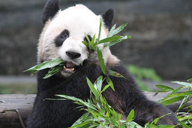 Toronto Zoo giant pandas Er Shun