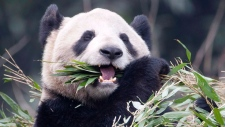 Giant pandas moving to Toronto Zoo
