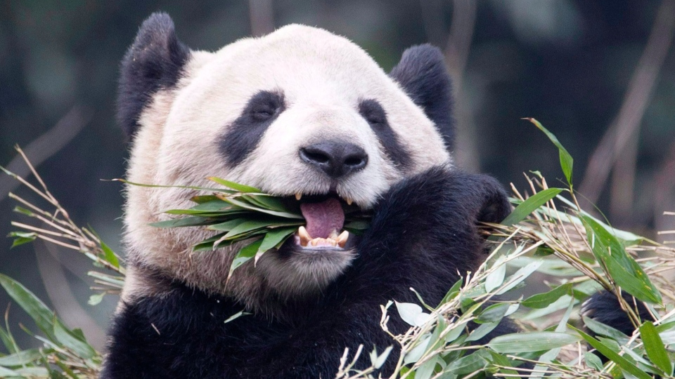 Female panda Er Shun eats bamboo at the Panda House at the Chongqing Zoo in Chongqing, China Saturday February 11, 2012. (Adrian Wyld / THE CANADIAN PRESS)