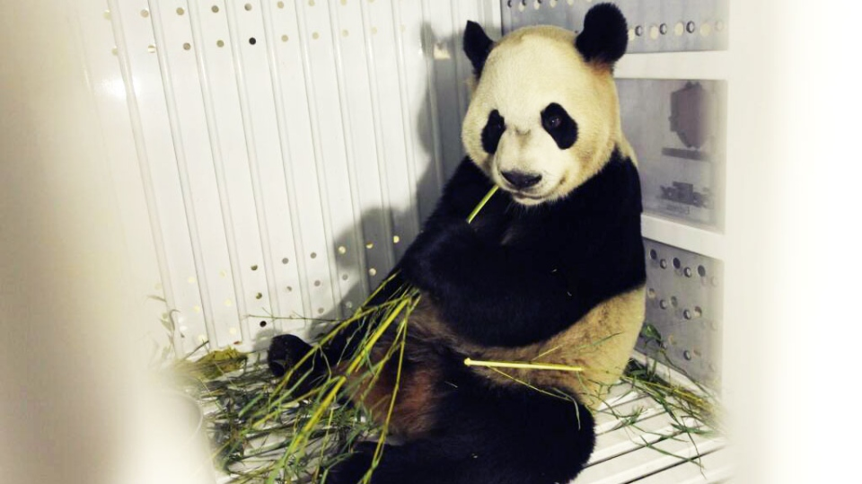 Four-year-old panda Da Mao is seen in transit from China to Toronto.