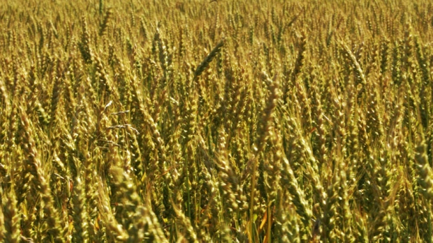 A field of wheat is seen in this June, 2007 file photo.