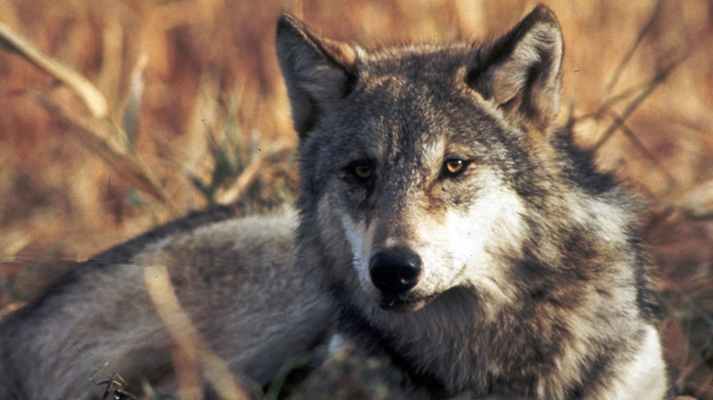 This undated file image provided by the U.S. Fish and Wildlife Service shows a grey wolf. (AP Photo / U.S. fish and Wildlife Service, File)