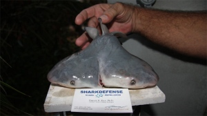 This image, courtesy of SharkDefense, shows the two-headed bull shark fetus.