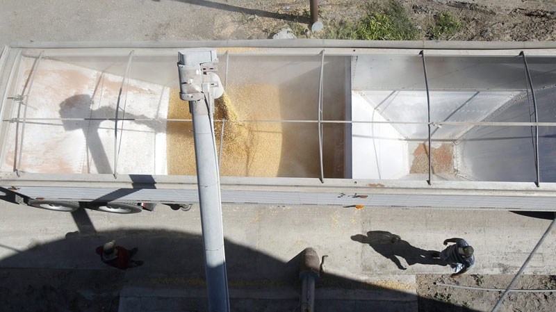 A truck loads up with corn from the grain tank on Jan. 28, 2011 at Charles Ring's farm near St. Paul, Texas, in San Patricio County. (AP / Corpus Chrisit Caller-Times, Michael Zamora)