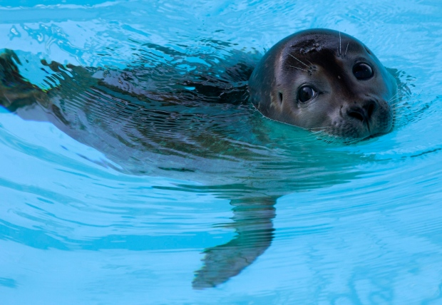 Seal pup learning to swim again after amputation ctv news for Humboldt swimming pool schedule
