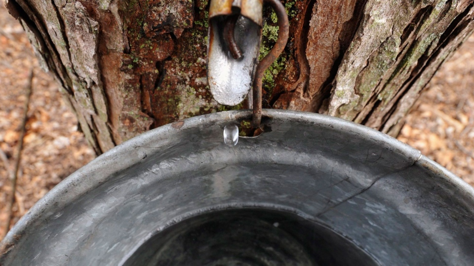 cold spring creates sweet conditions for canada u0026 39 s maple syrup farmers